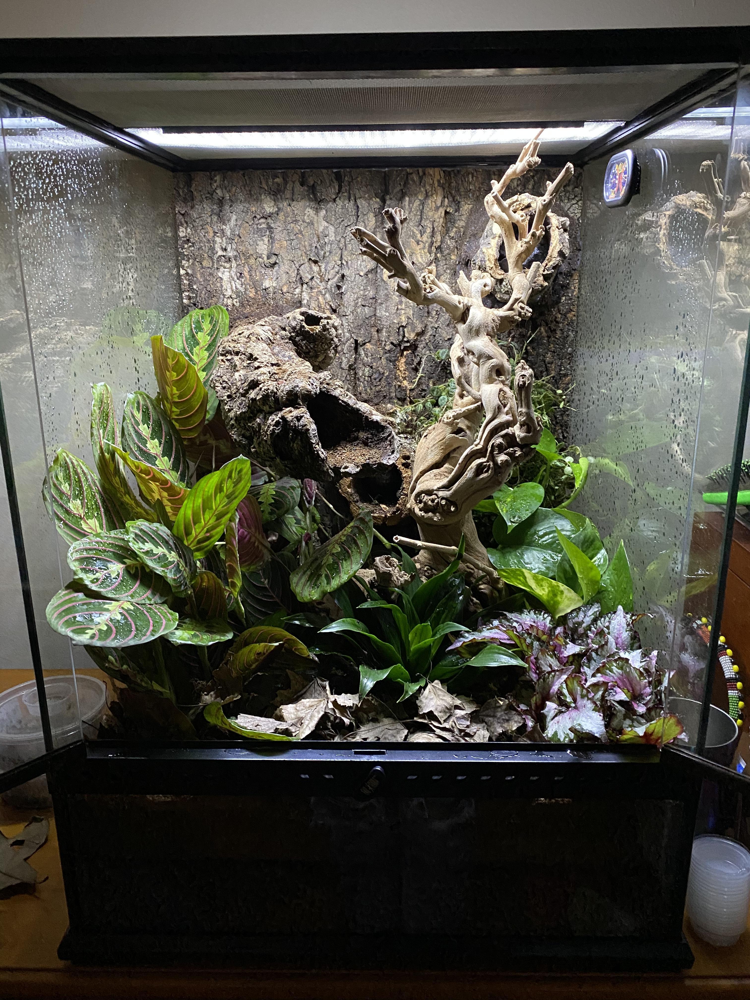 Gargoyle gecko humidity-c5637810-3cc4-4e12-b4a3-c8a68700cc09_1581880846693.jpeg