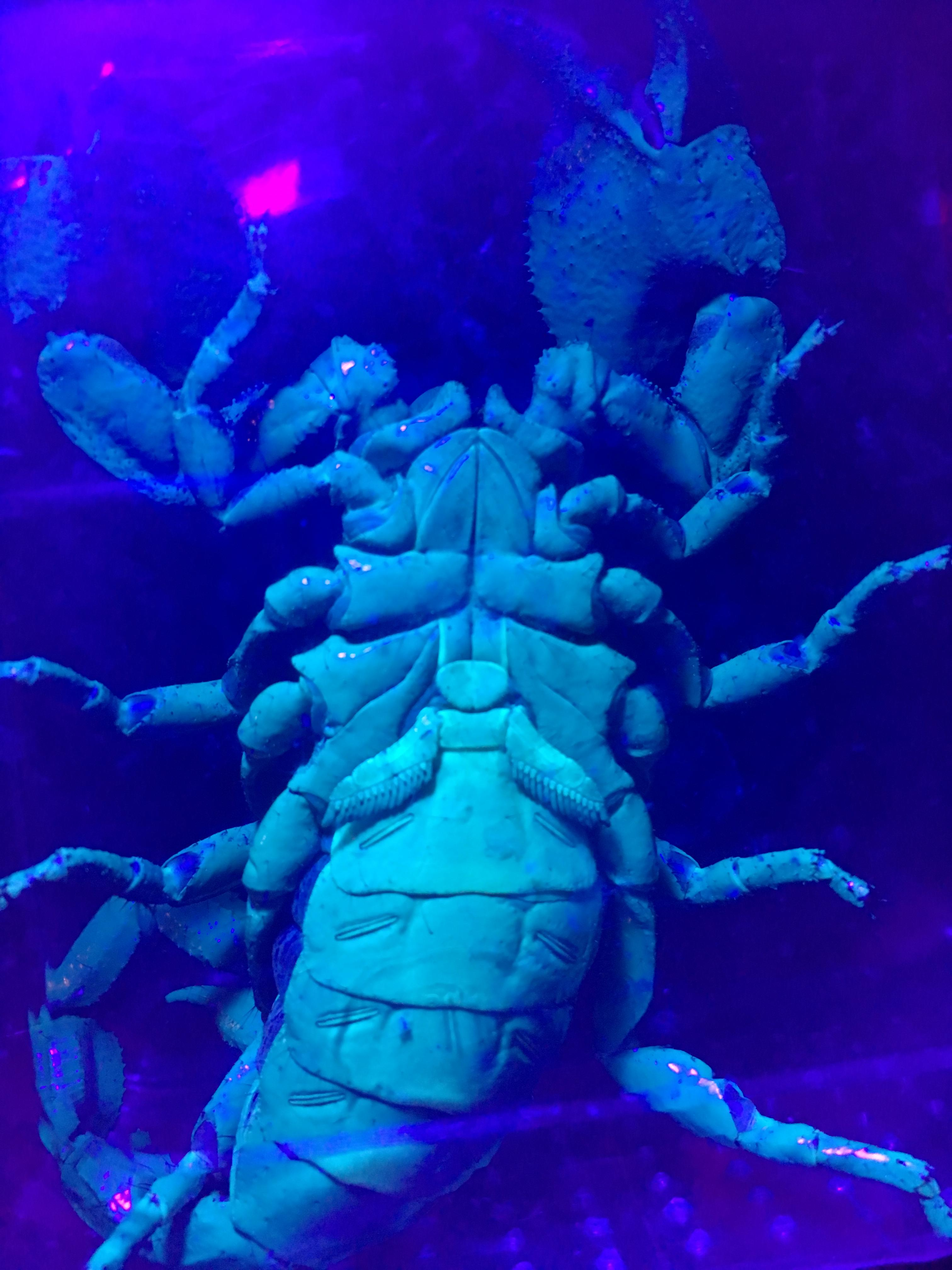 Help  sexing a emperor scorpion (pandinus imperator)-cd6f22e3-2b23-4eb3-90ff-07f0baadbfc2_1556653396860.jpeg