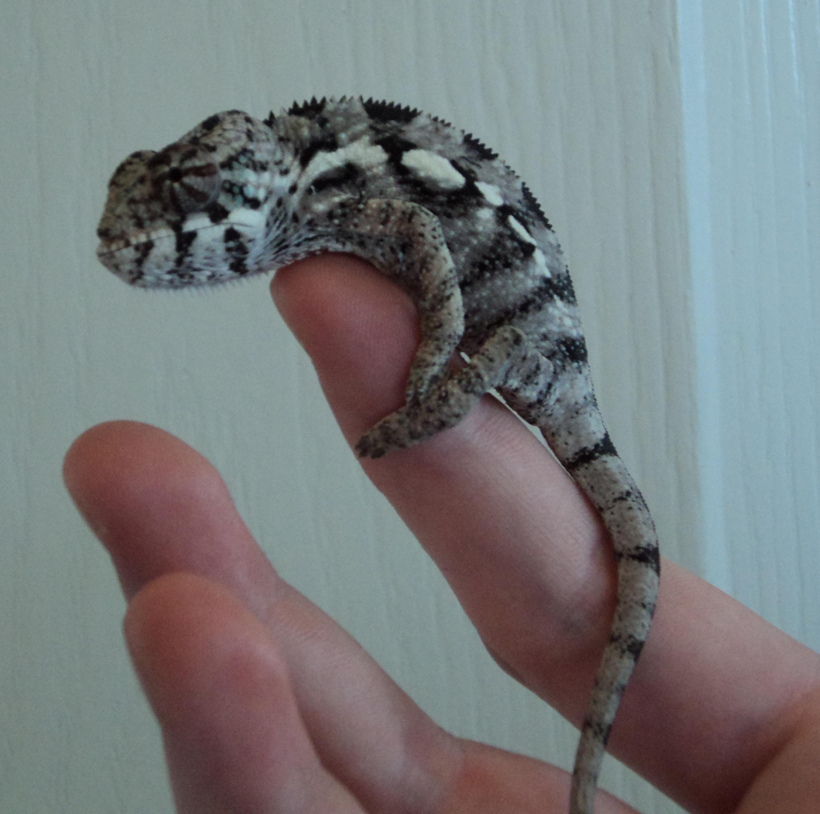 Displaying 19 gt images for panther chameleon baby