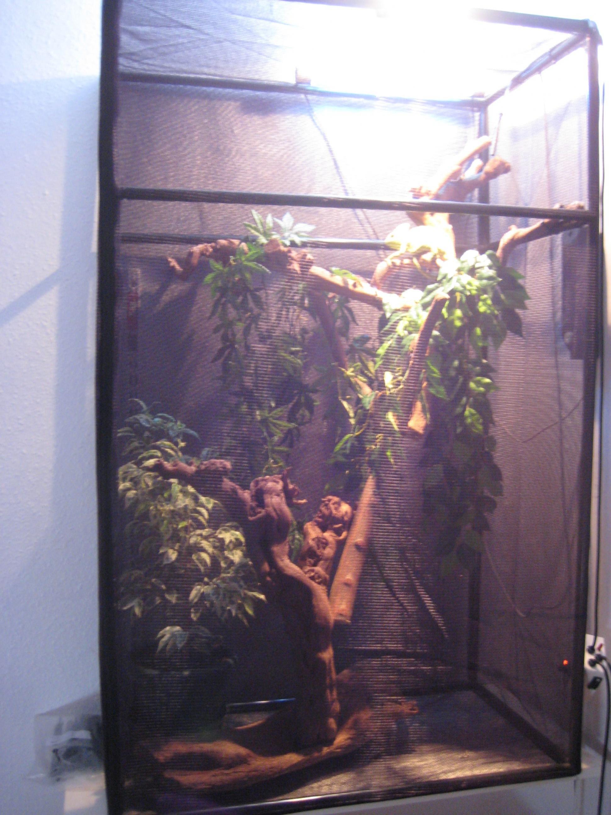 Nw England Yemen Cham With Full Flexarium Setup Reptile Forums