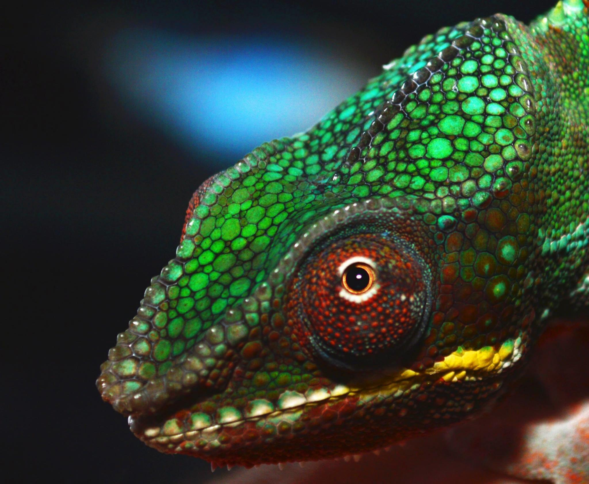 England baby panther chameleons for sale manchester reptile forums