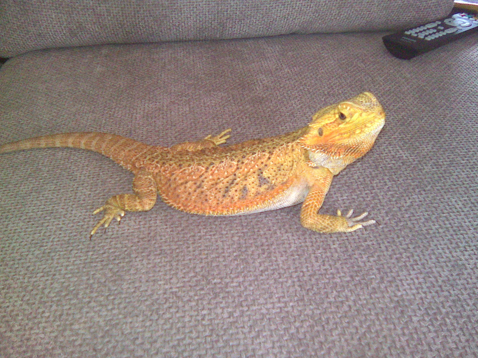 E Midlands Female Bearded dragon: Blood Red/Tangerine x Red/Gold