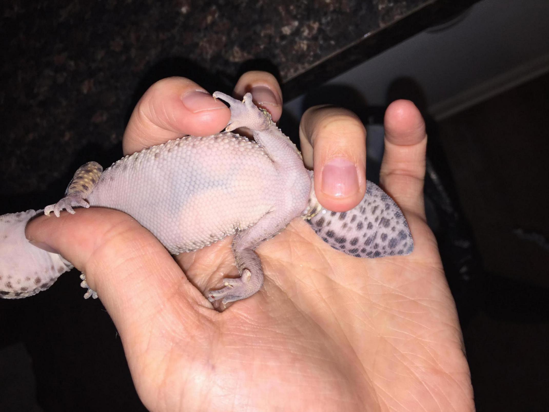 Leopard Gecko Possibly Pregnant!?!-dd801b80-116f-4854-9ad5-963af220e729_1532089027609.jpg