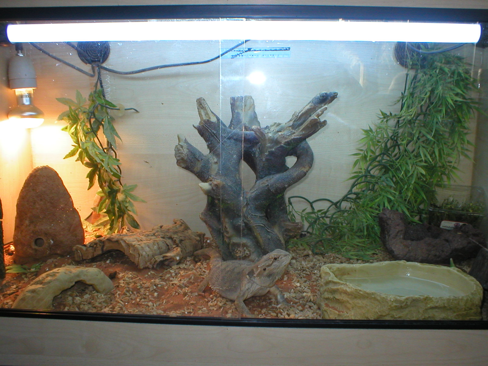 Ne England Bearded Dragon Full Set Up Reptile Forums