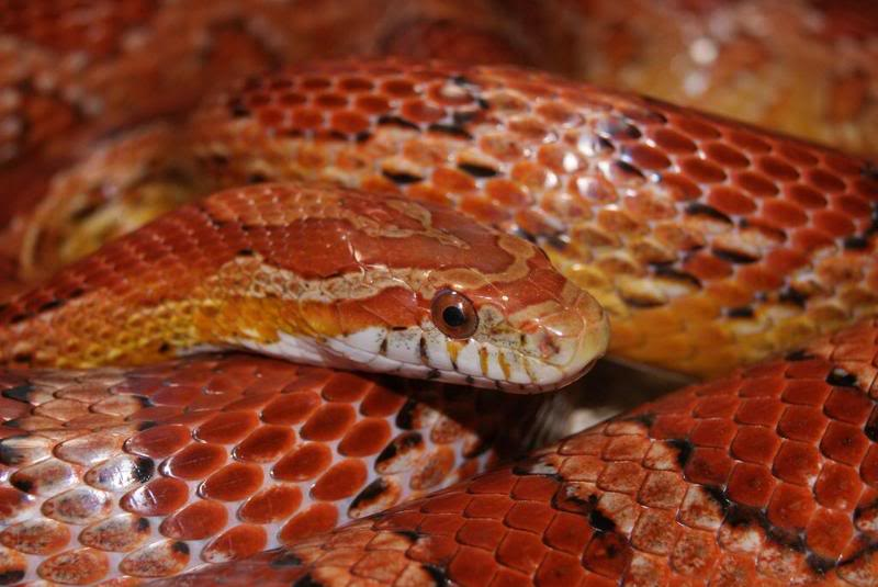 W Midlands Male Amp Female California Corn Snakes And Viv For Sale Reptile Forums