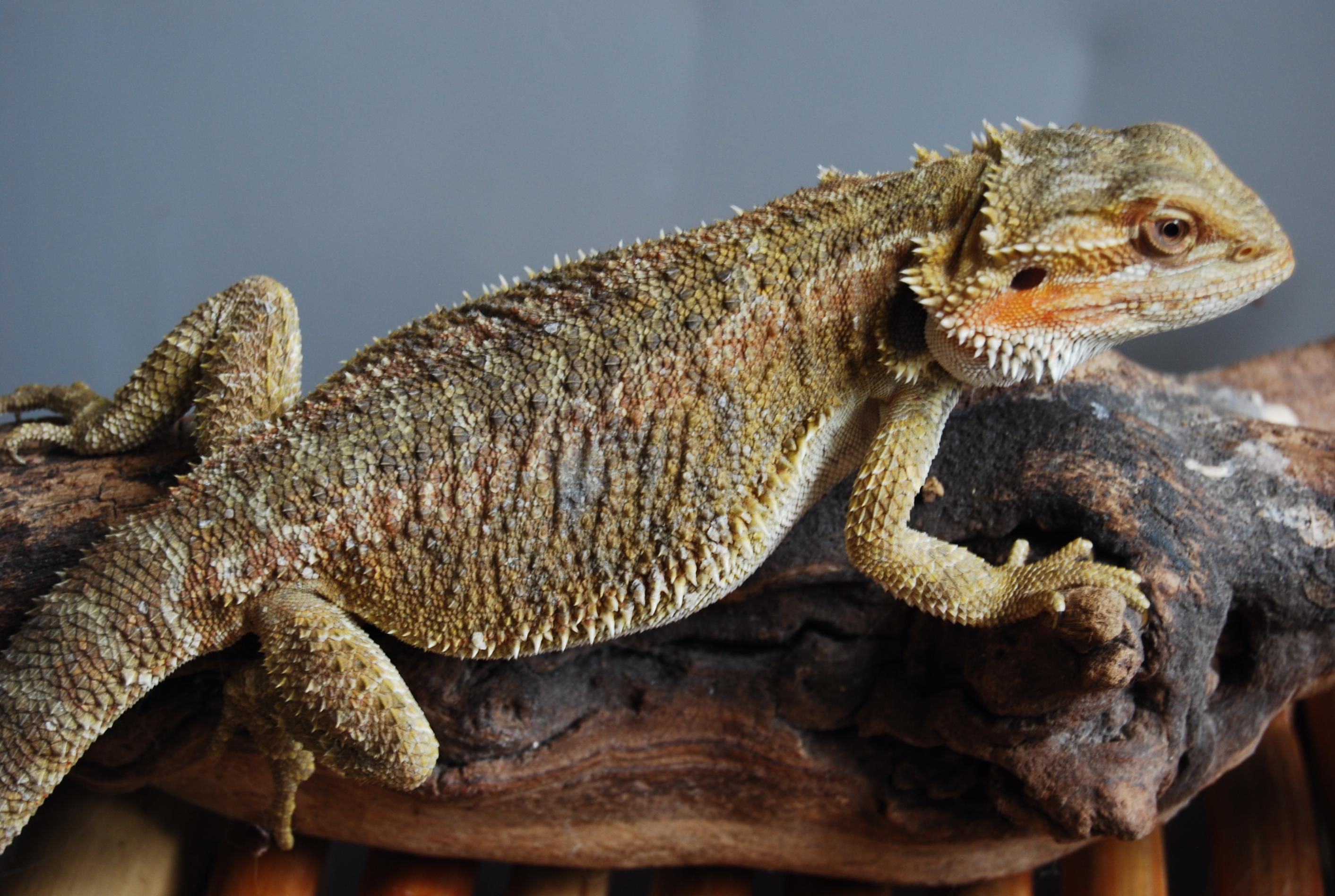 Reptiles Pets Australia Pictures of Pet Reptiles