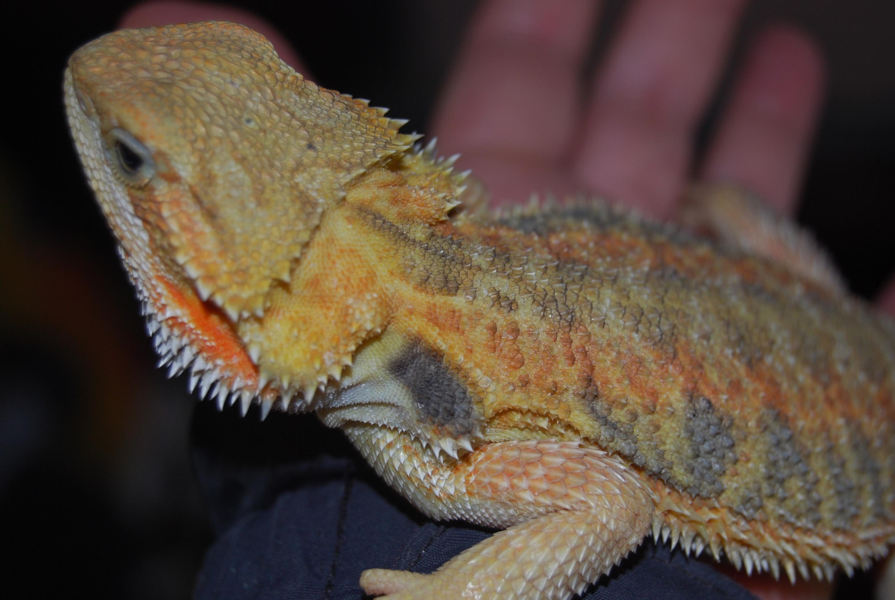 Reptile Forums - View Single Post - W Midlands Red/Hypo Citrus x