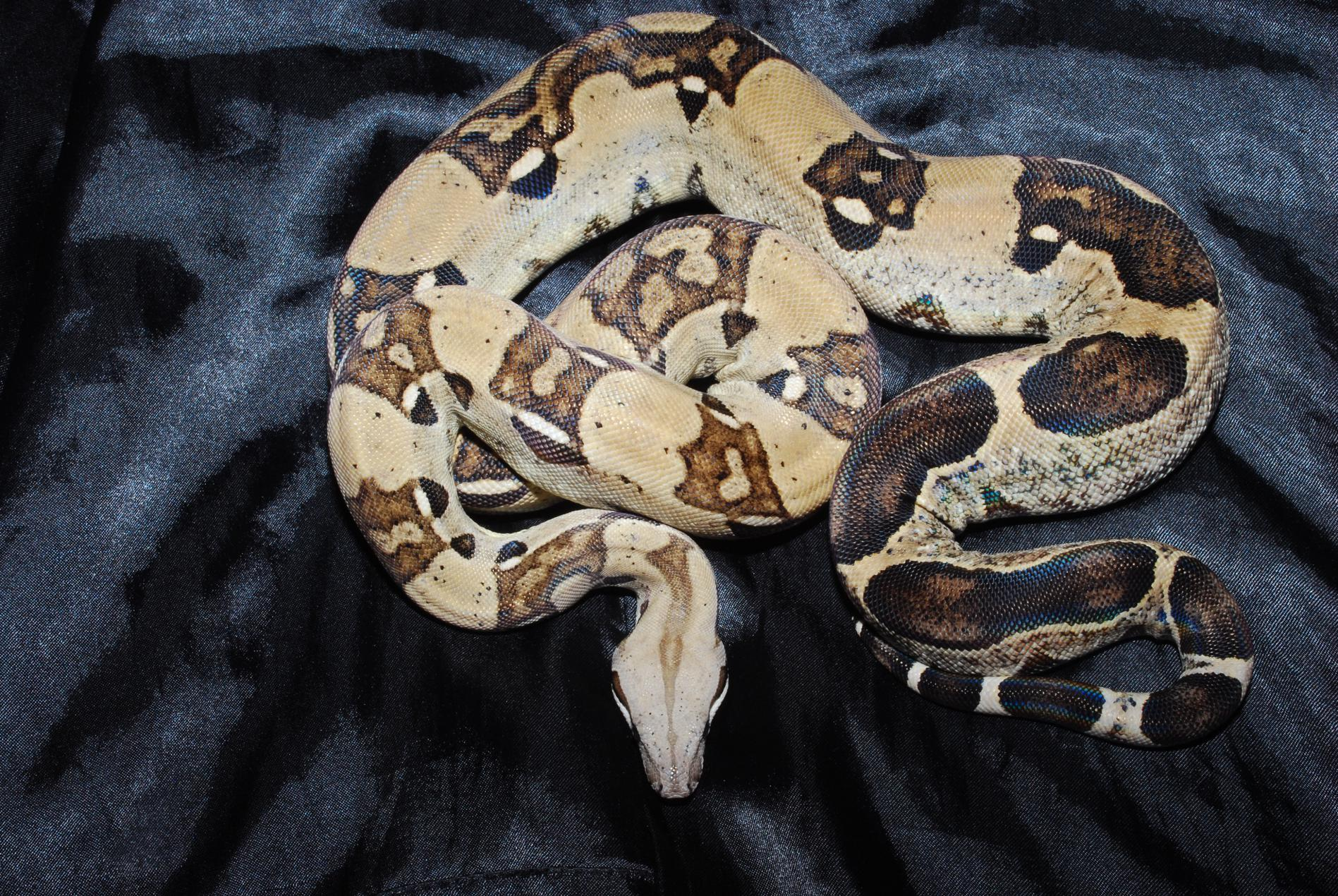 Male Anery Boa Constrictor for Sale-dsc_0143.jpg