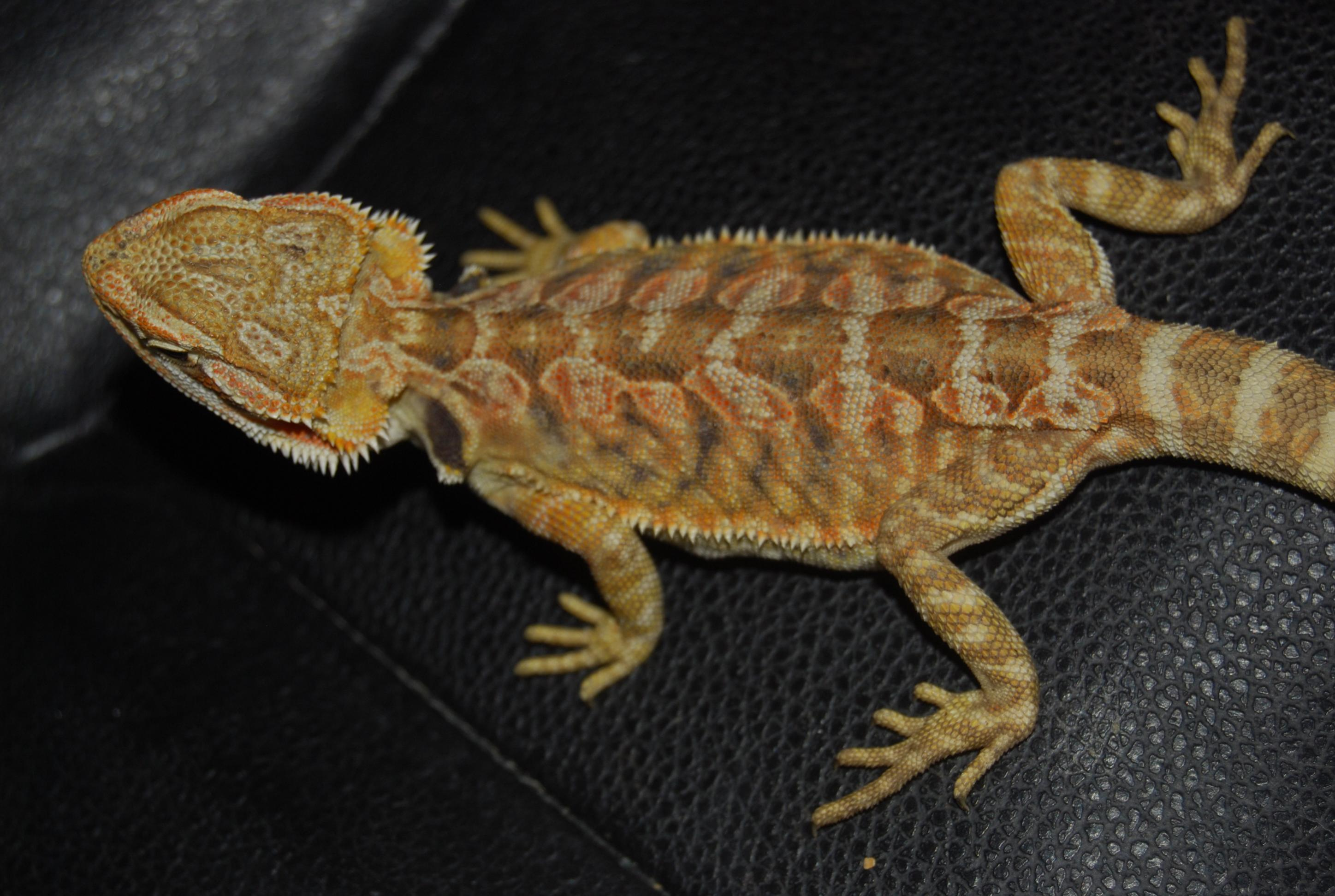 Citrus tiger bearded dragon - photo#22