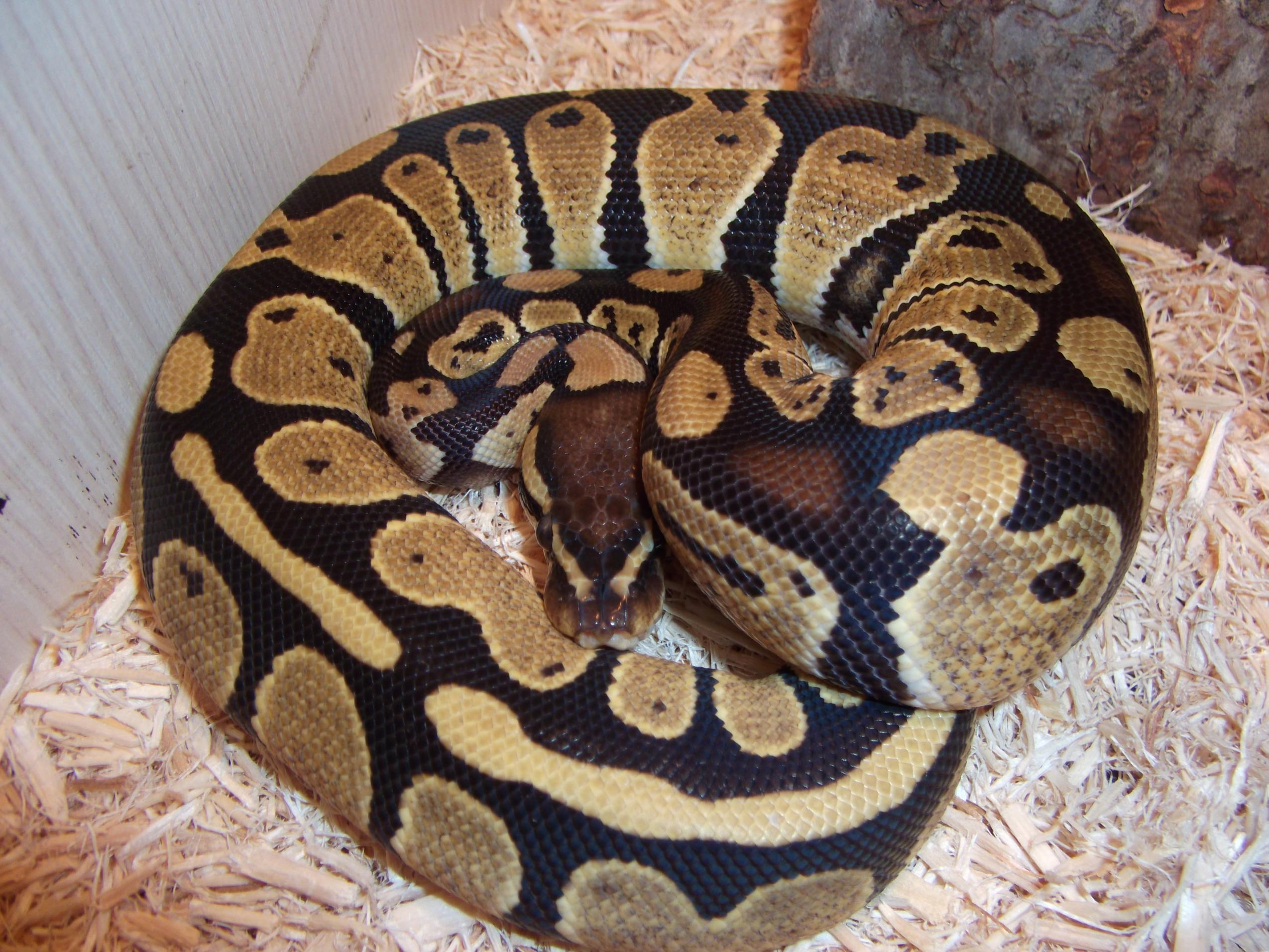 female royal python and male royal python-dscf0132.jpg