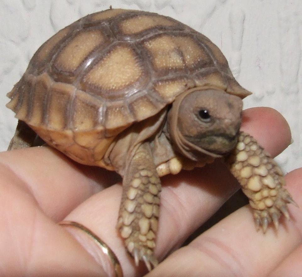 SW England Baby sulcata tortoises - Reptile Forums