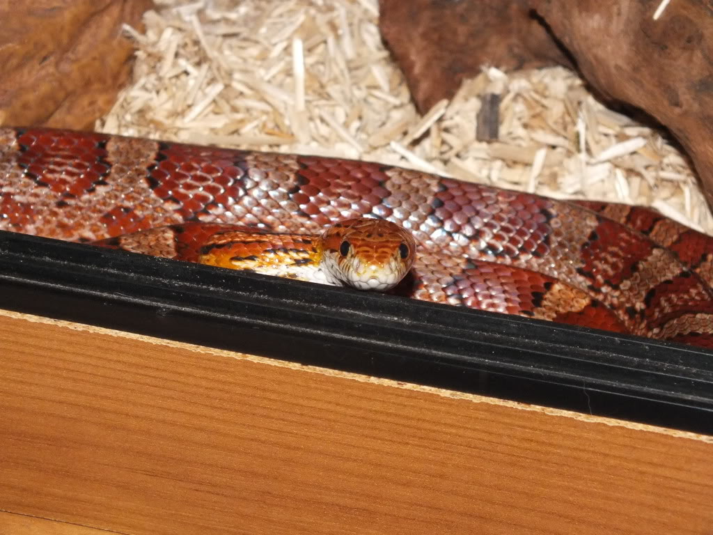 Jungle Corn Snake Adult Male Corn Snake For