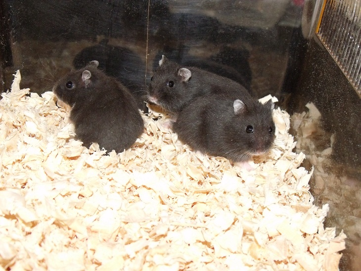 Various Hamsters - Winter Whites, Russian Campbells, Chinese and Pied Roborovskis-dscf4793.jpg