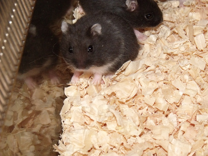 Various Hamsters - Winter Whites, Russian Campbells, Chinese and Pied Roborovskis-dscf4797.jpg