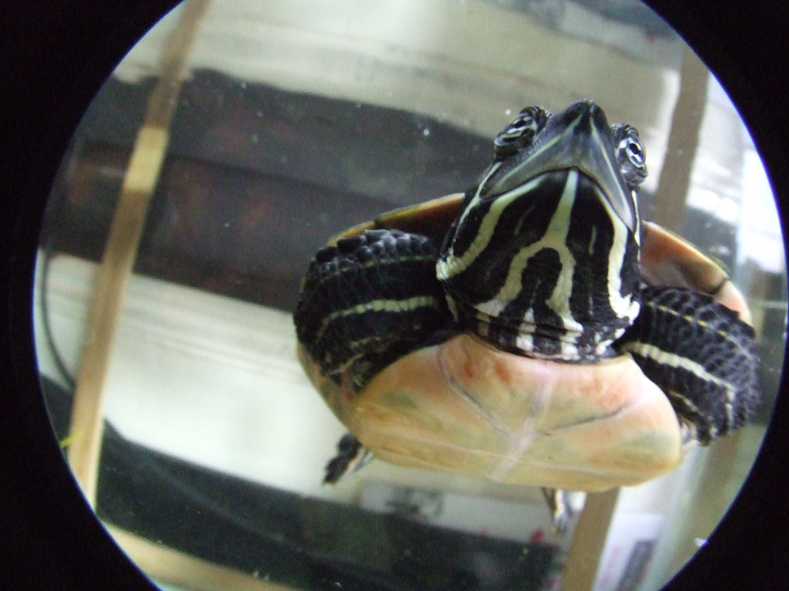 Yellow Bellied Slider and Red Bellied Cooter with COMPLETE set up-dscf5397.jpg