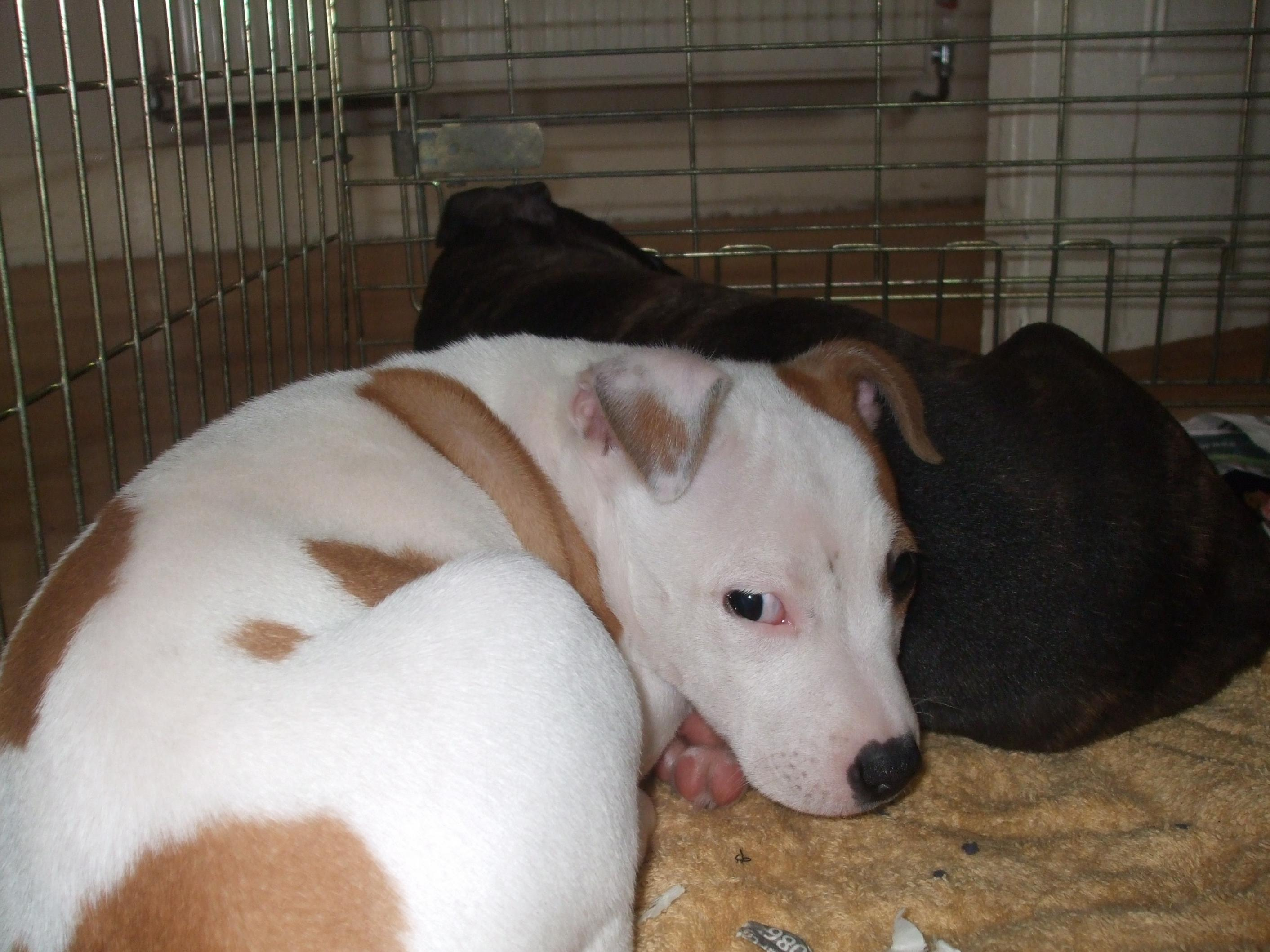Very Cute White And Tan Staffy Puppy For Sale Swap
