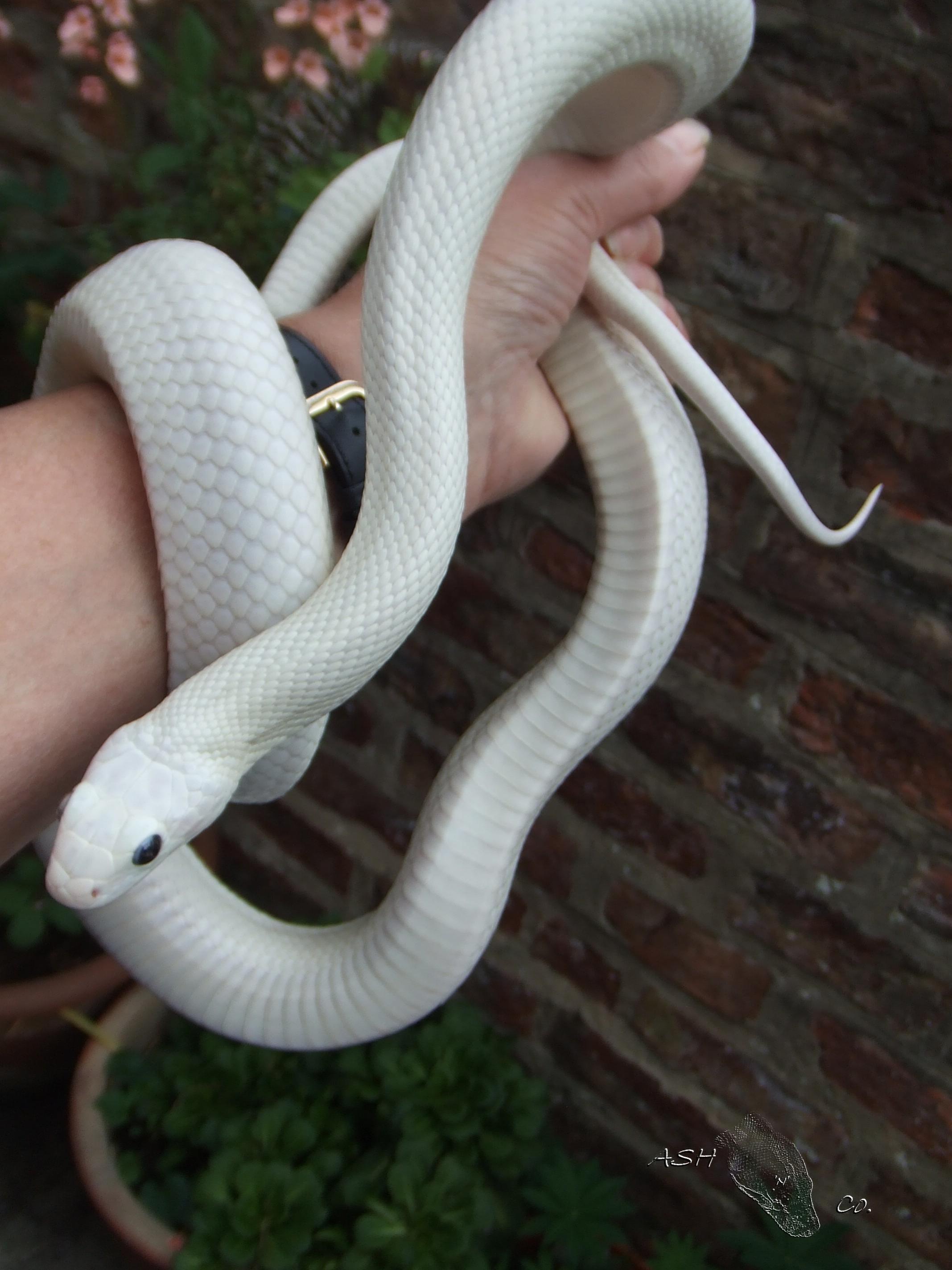 NE England 07 female Leusistic Texas Ratsnake - Reptile Forums