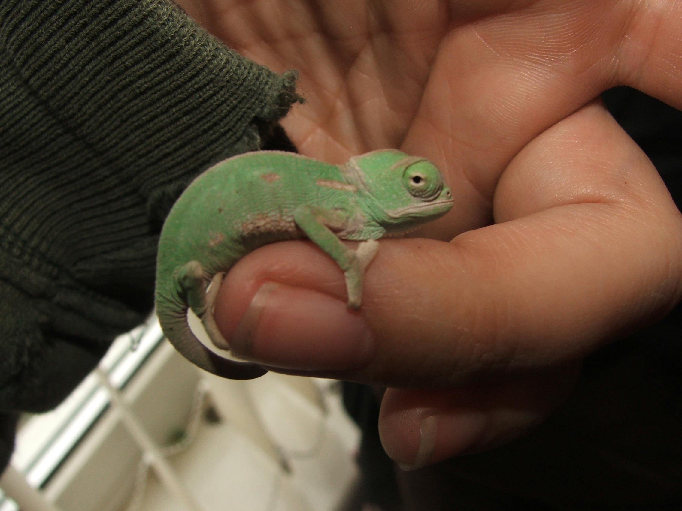 25 amazing chameleon pictures - For Sale Baby Veiled Chameleons Devon 25 Each Dscf7564 Jpg
