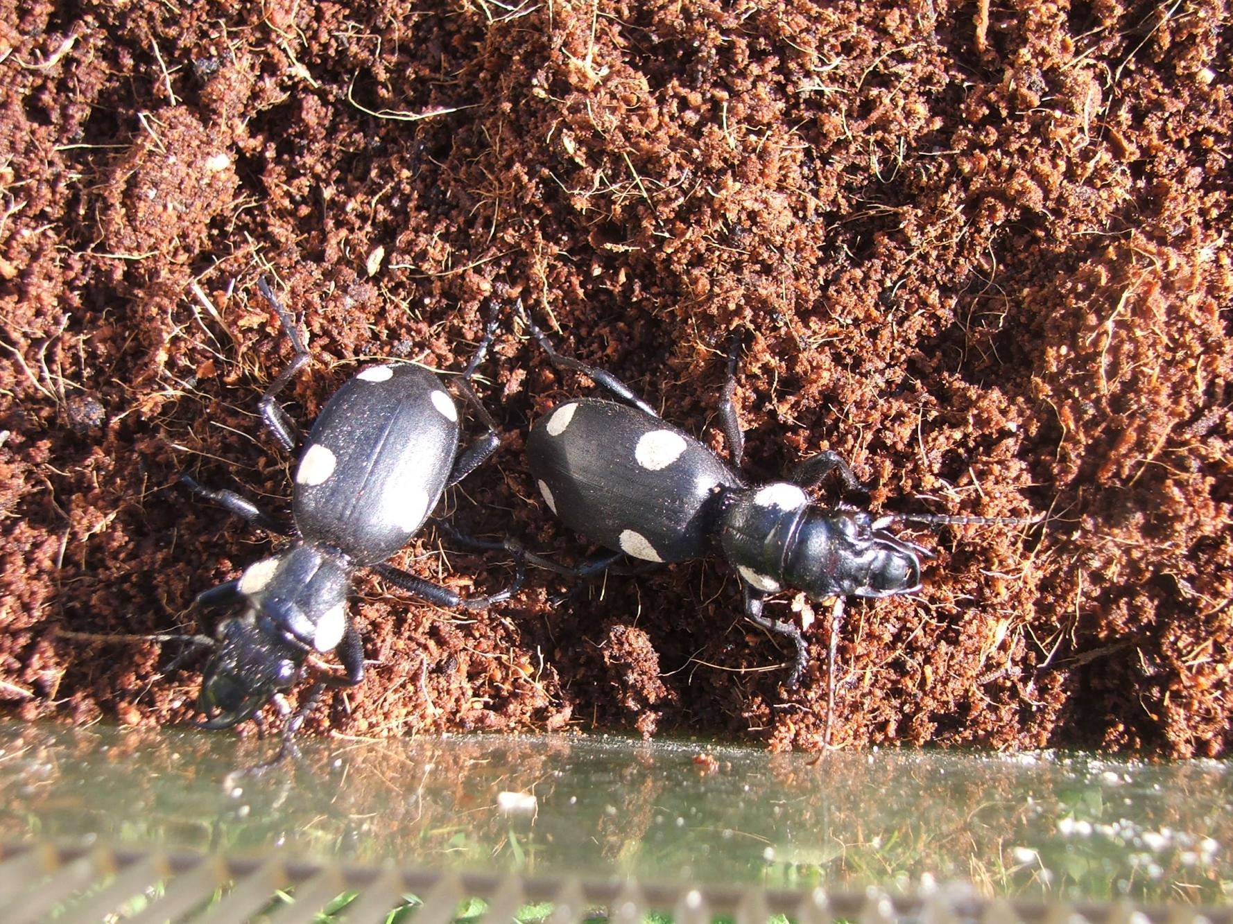 Predatory Beetles-dscf9537.jpg