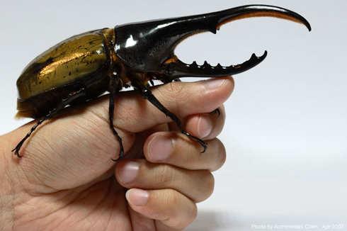 se england new rhinoceros beetle larvae in stock various species