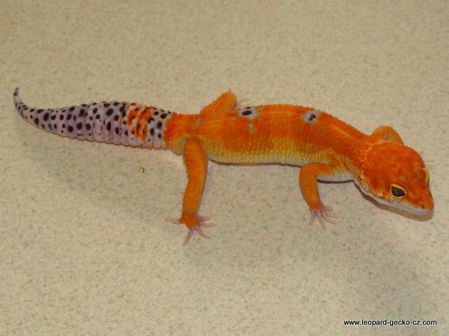 Europe Leopard gecko morphs - BIG SALE of 2012