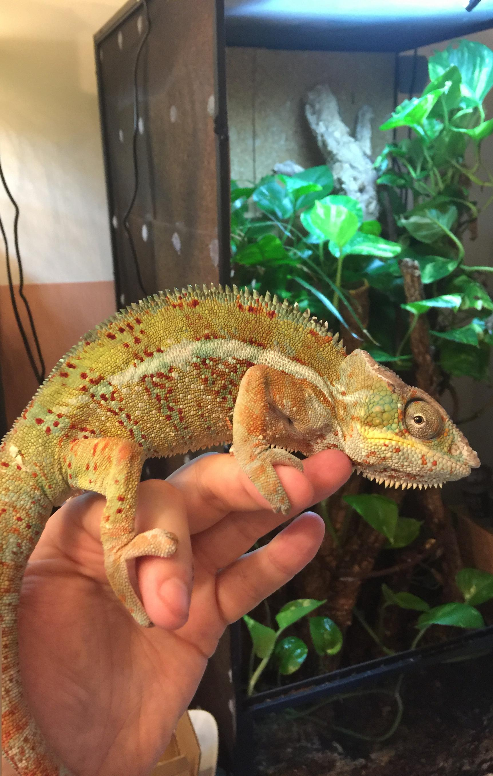 nosy faly male and different other female panther chameleons for sale-faly-boy.jpg
