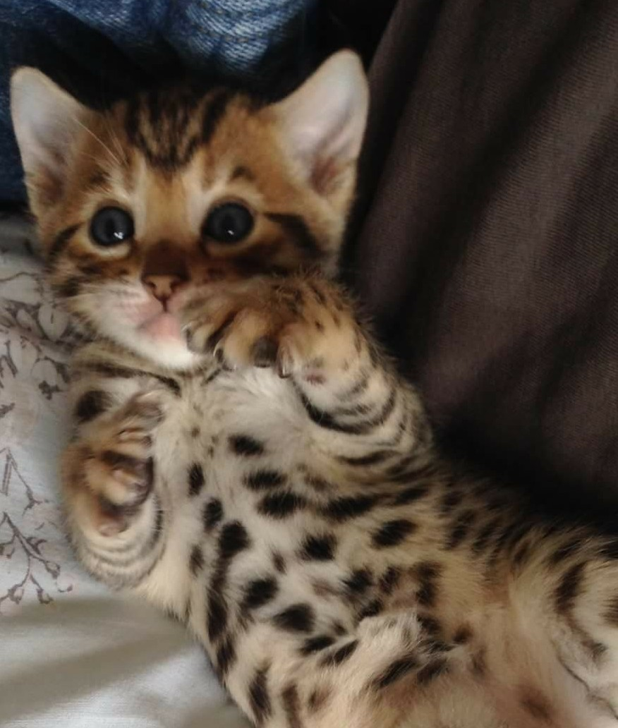 Bengal kittens, only a few spaces left on 2018 waiting list!-fb_img_1521108525729_1521368247892.jpg