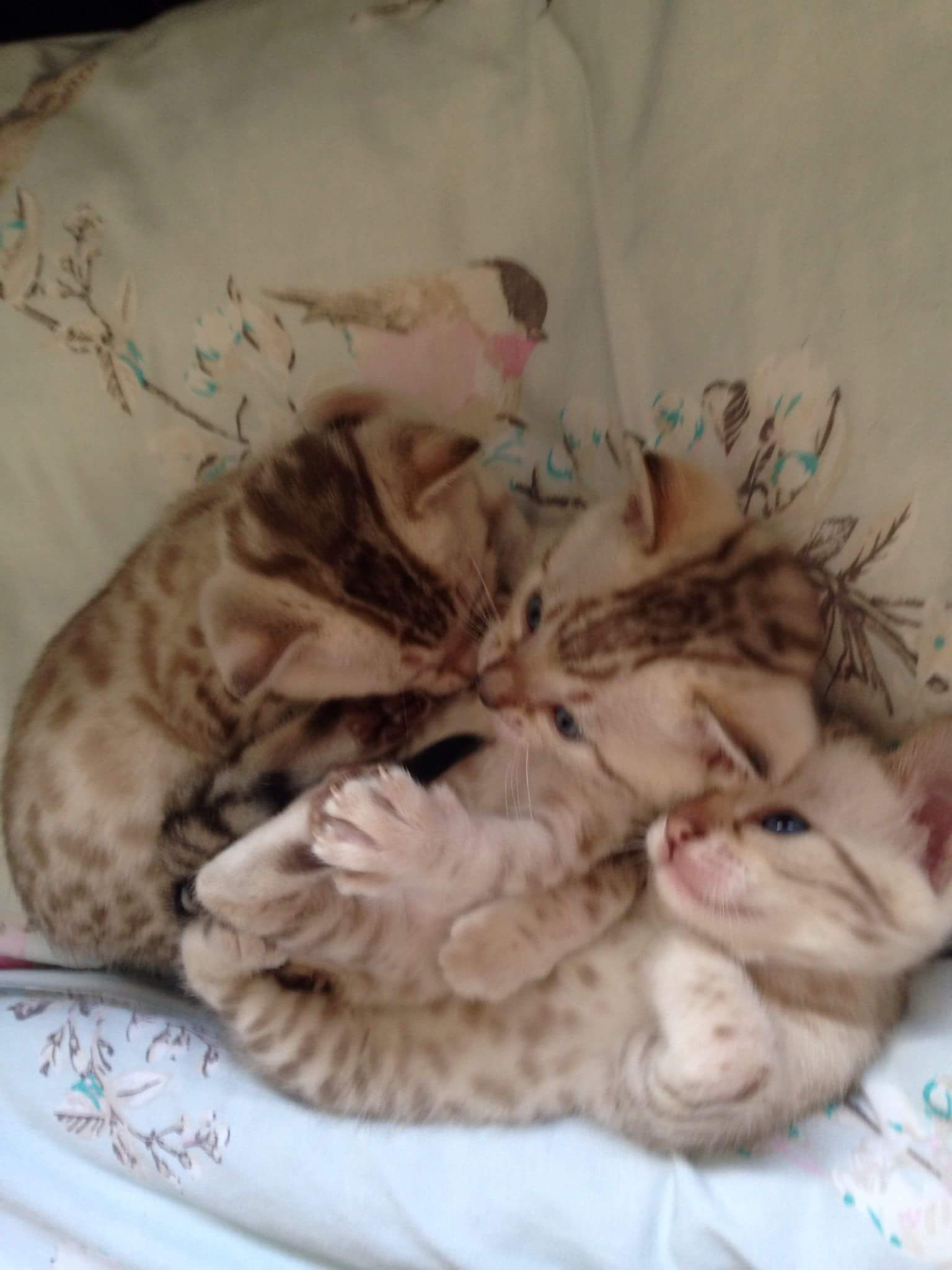 Bengal kittens, only a few spaces left on 2018 waiting list!-fb_img_1521199219902_1521368232187.jpg
