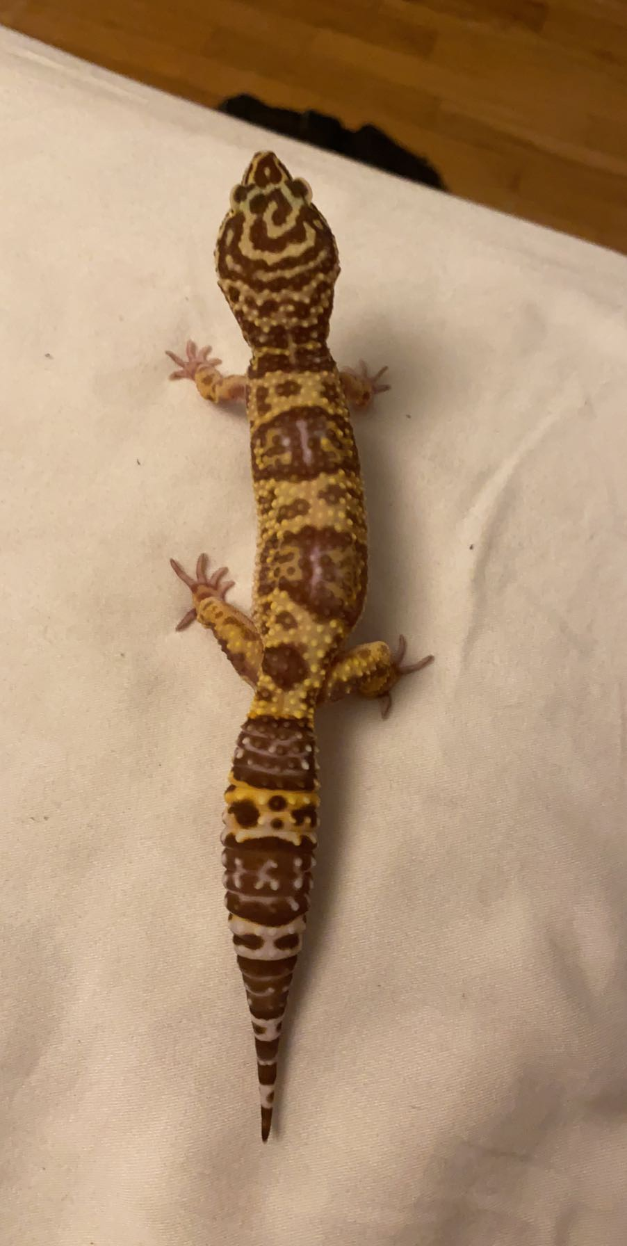 Leopard Gecko Morph-fd42ad66-0323-4f41-98cc-235f6a8bec97_1584667552065.jpeg