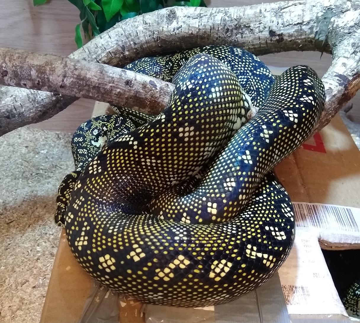 Diamond Python Appreciation-female.jpg
