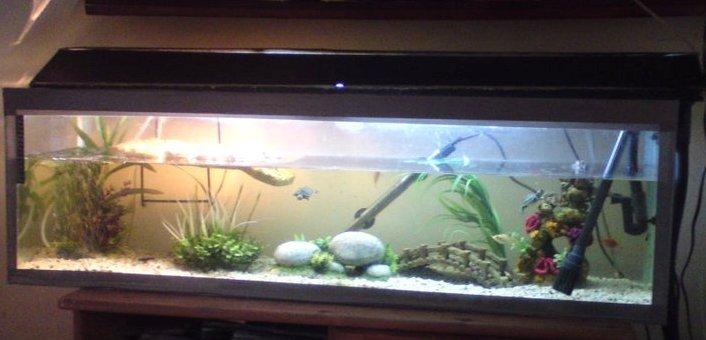 Turtle In A Fish Tank : 54892d1328213194-fish-turtle-tank-sale-fish-tank.jpg