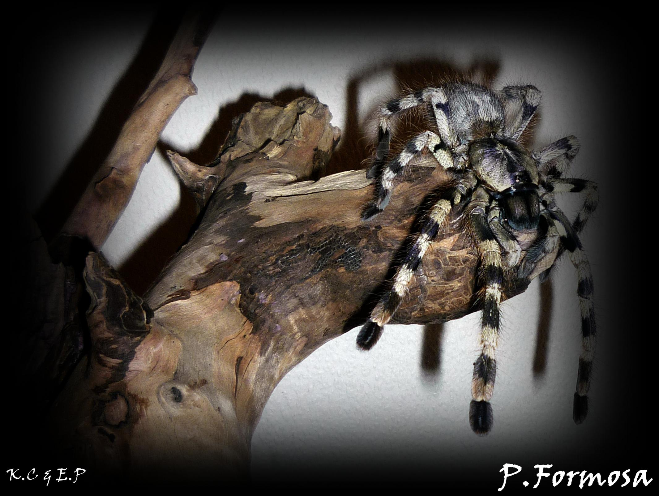 W Midlands Lots of poecilotheria species for sale - Reptile Forums