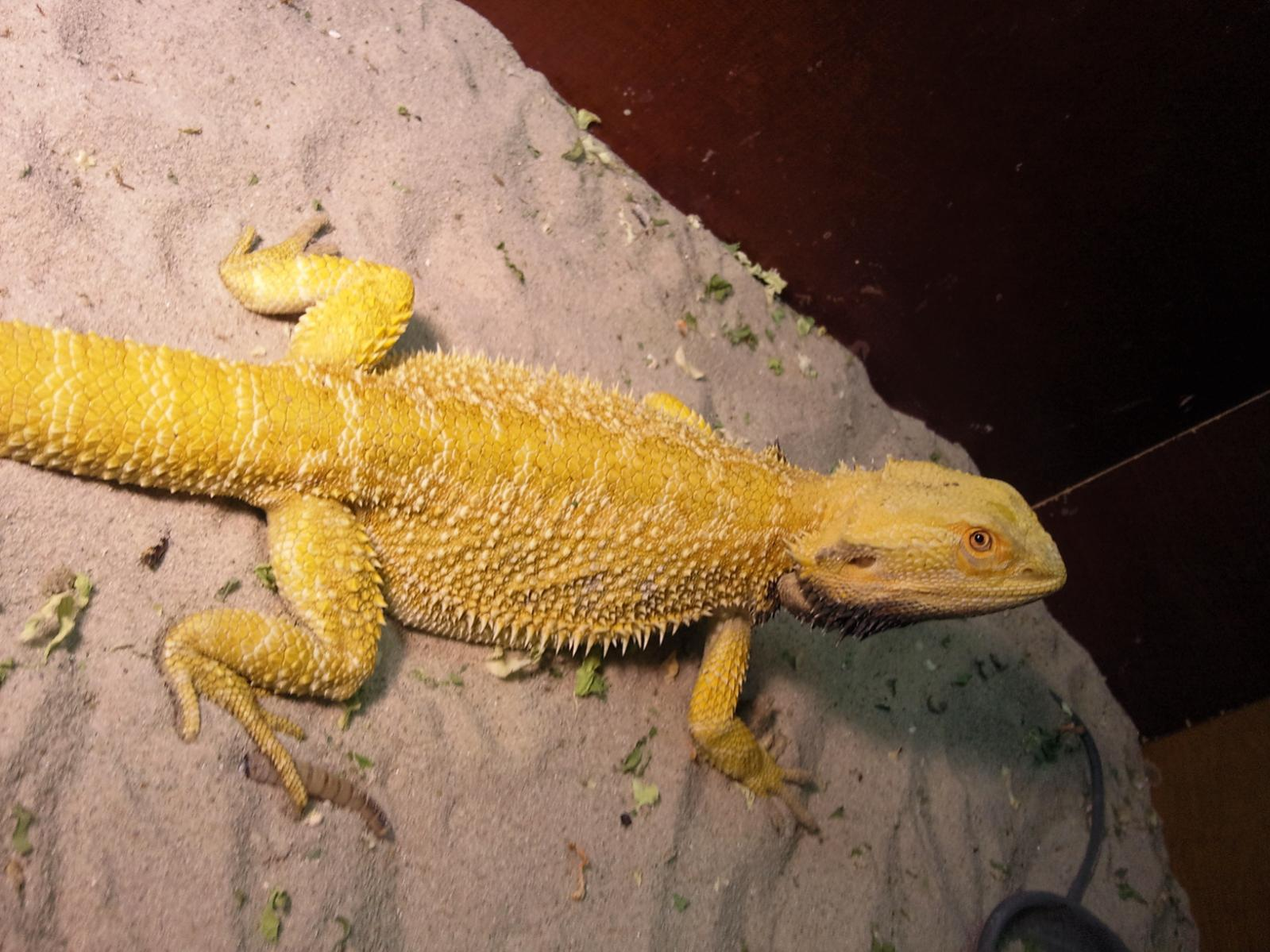 W Midlands 1 Year Old Stunning Citrus Male Bearded Dragon ...