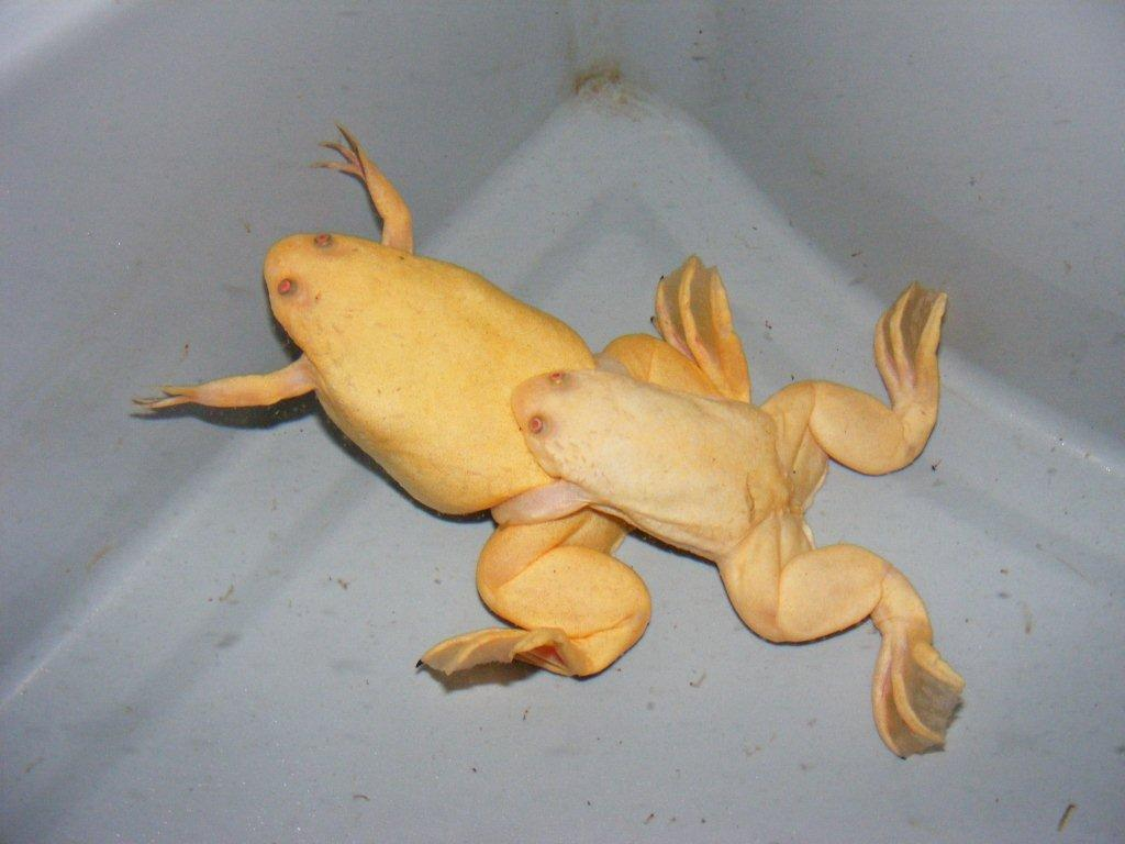 Albino African Clawed Frog Albino African Clawed