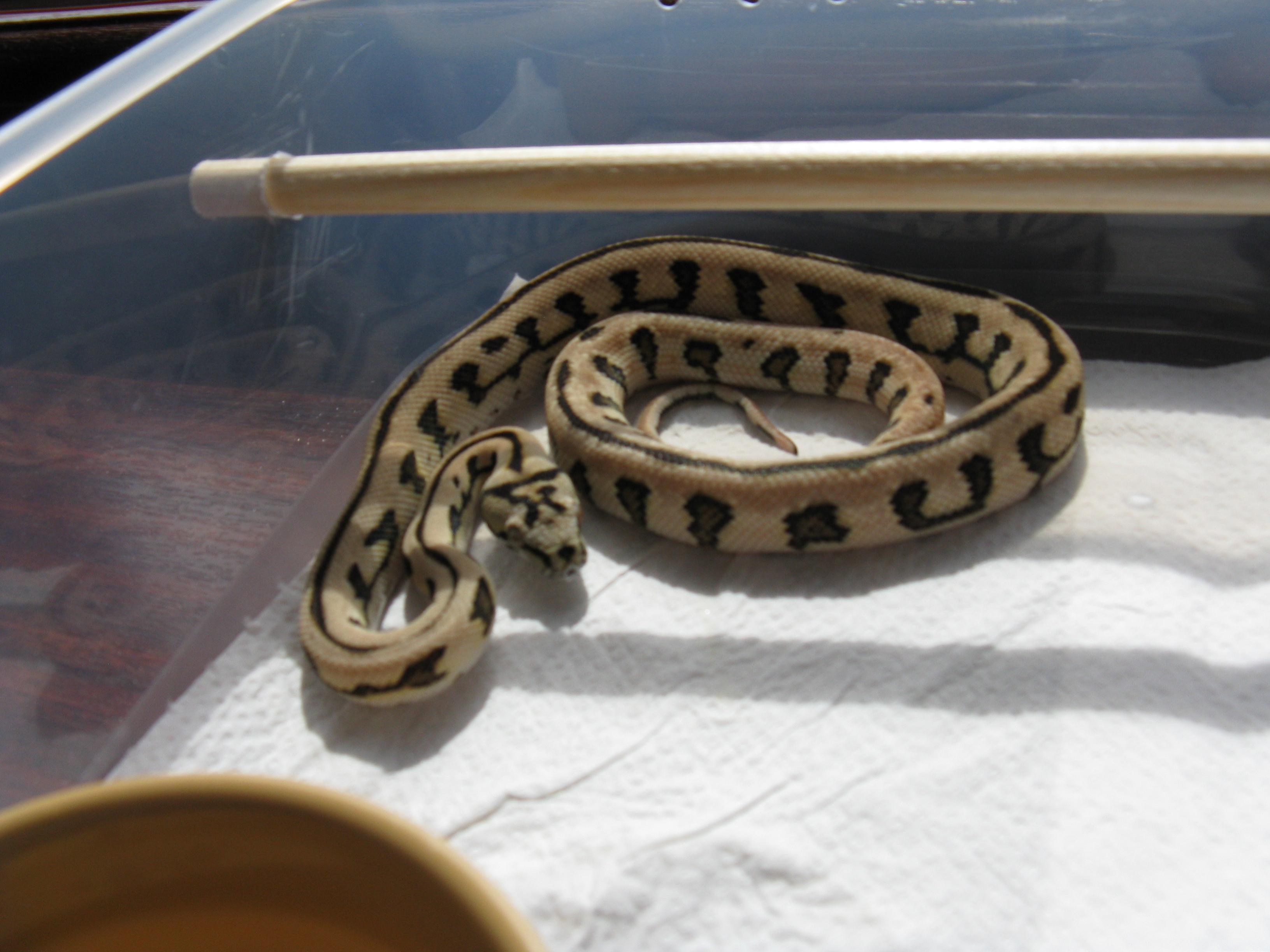 Jungle Carpet Python Hatchlings Uk Carpet Vidalondon