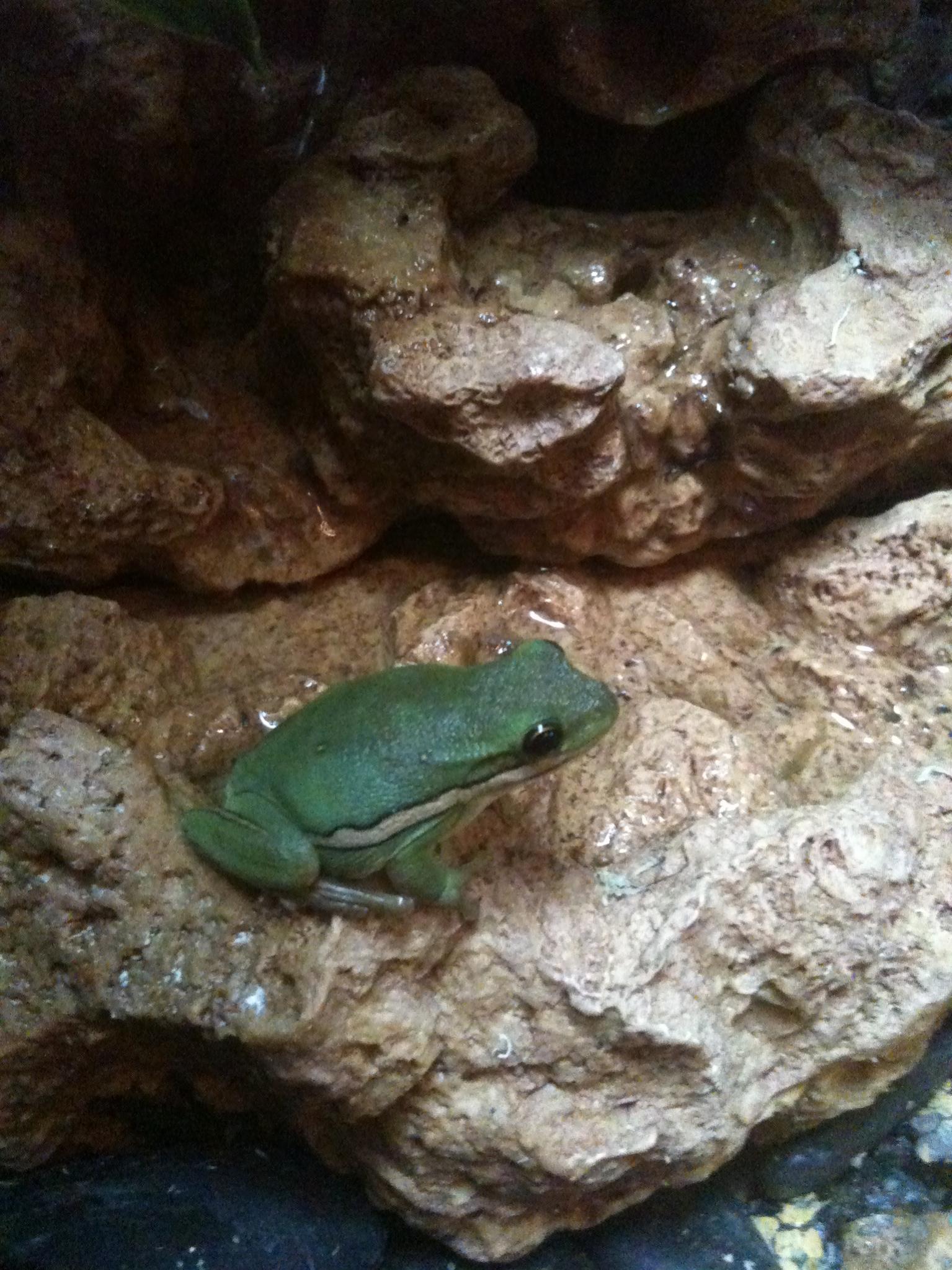 E Midlands   amazon milk & american green tree frog+full set up ...