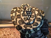 Male 2012 diamond jungle jaguar carpet python for sale-getattachmen.jpg