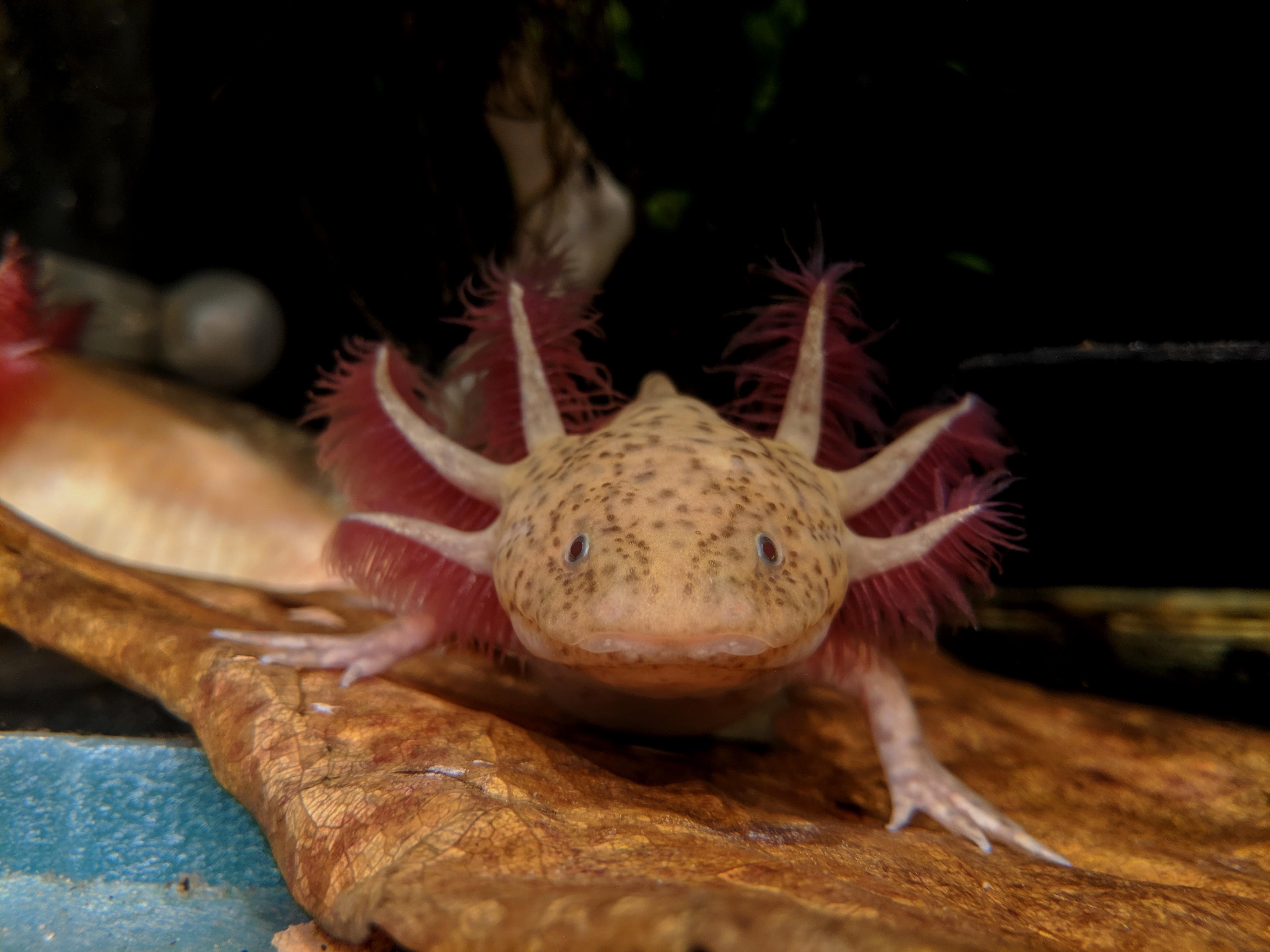 Some of my Axolotls-ginger.jpg