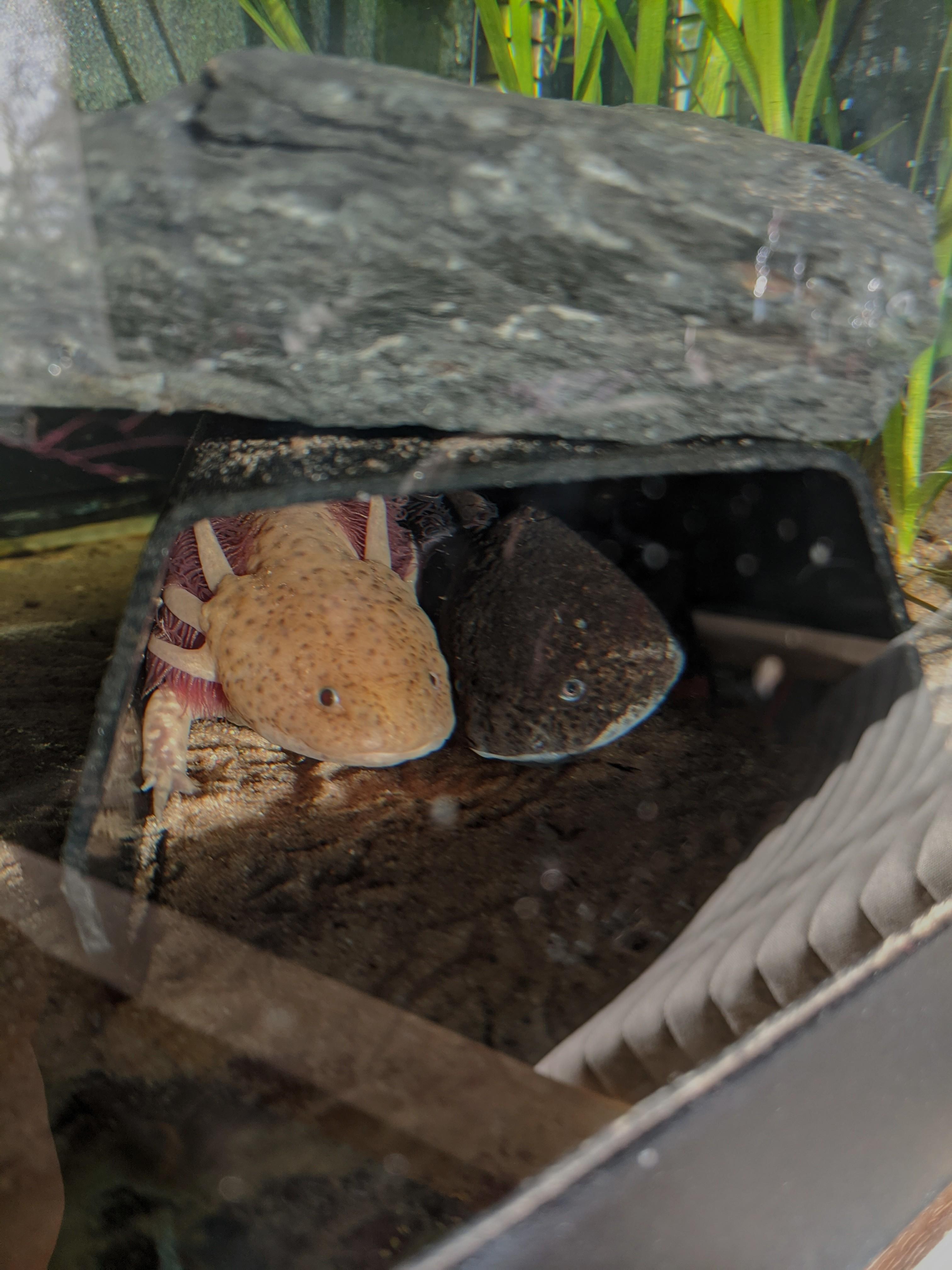 Some of my Axolotls-girlies.jpg