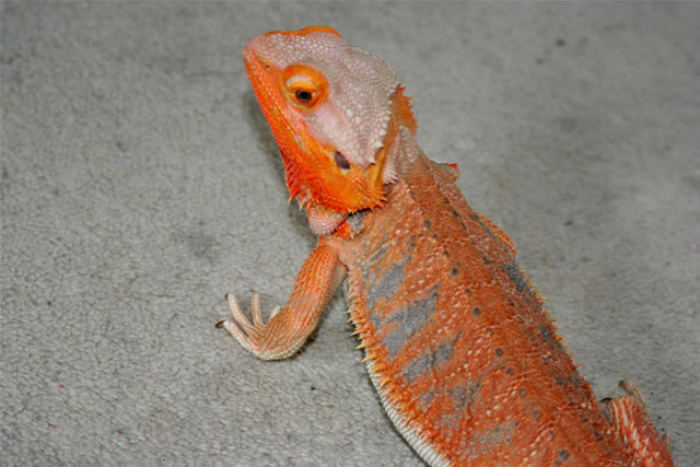 blood red/ tangerine BABY bearded dragon - Reptile Forums