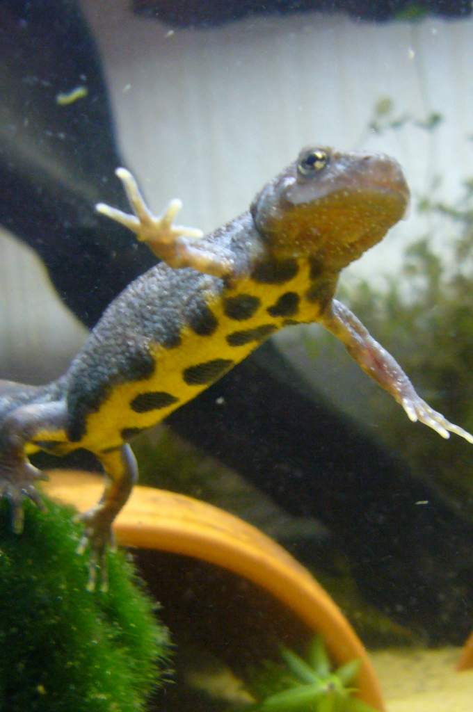 Paddle Tail Newt Paddle tail newts and italian