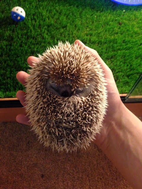 Se England African Pygmy Hedgehog W Complete Set Up 4ft