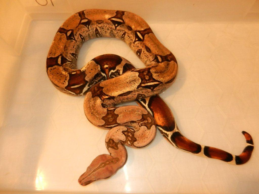 SE England For Sale CB09 Male Guyana Red tail Boa - Reptile