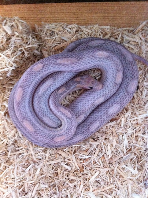 Lavender Corn Snake Female corn snakes for