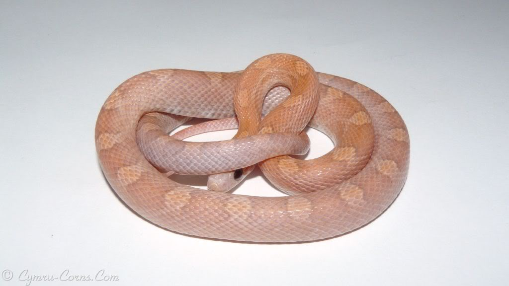 Palmetto Corn Snake Cinder Tessera Corn Snakes