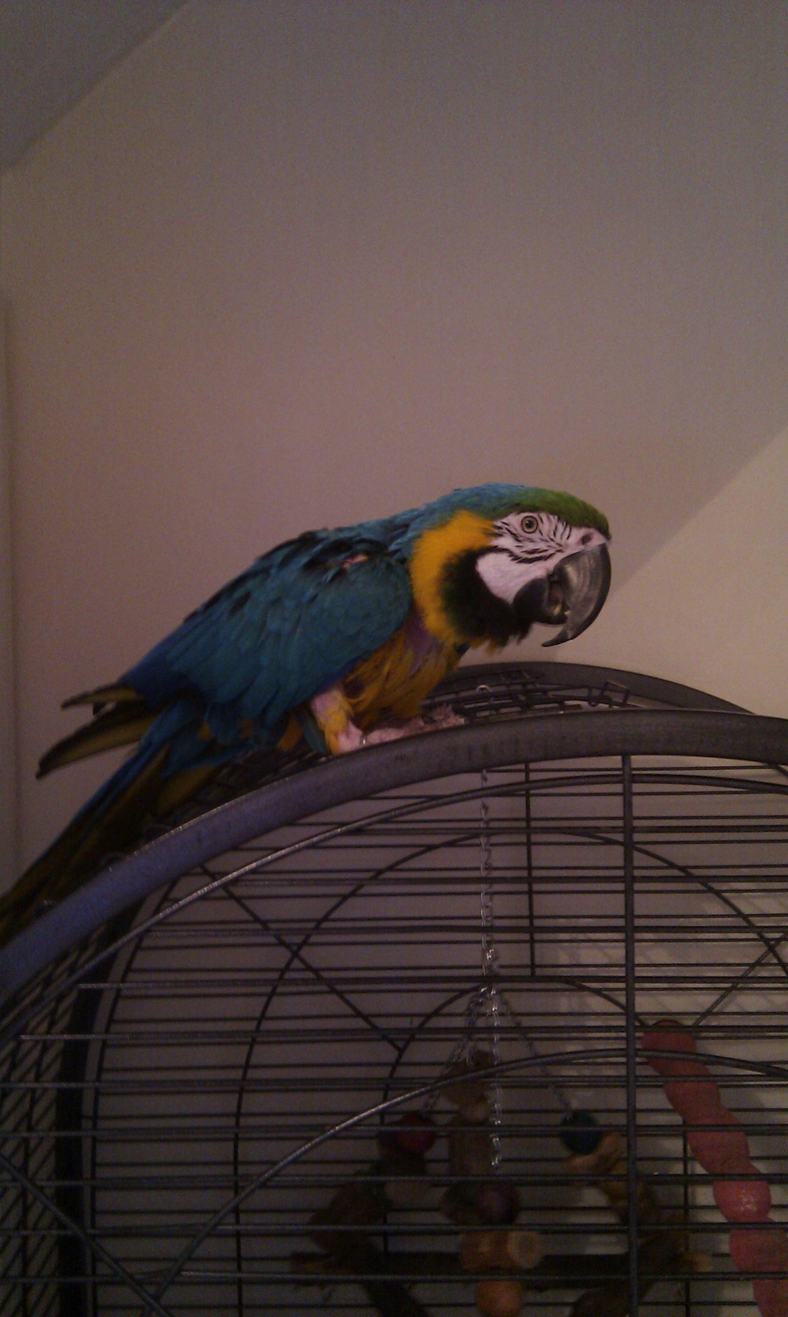 Blue and Gold Macaw-imag0044.jpg