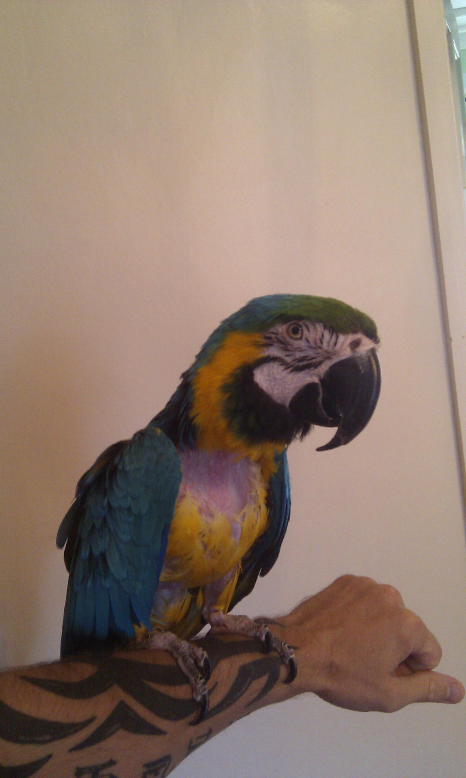Blue and Gold Macaw-imag0045.jpg