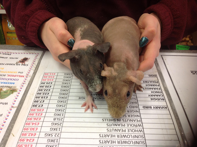 Baby Skinny pig sows-image.jpg