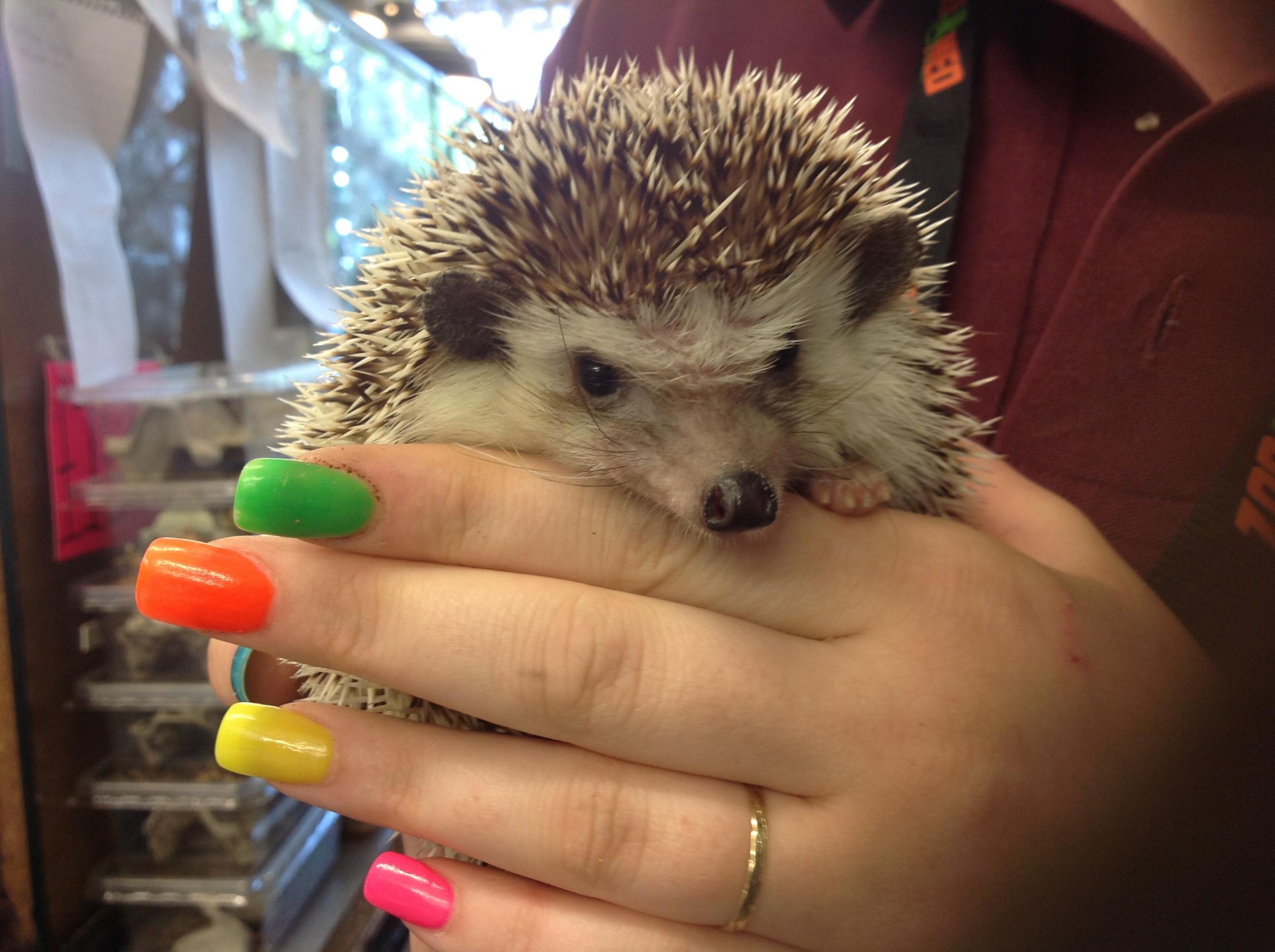 Adult female pinto African Pygmy hedgehog-image.jpg