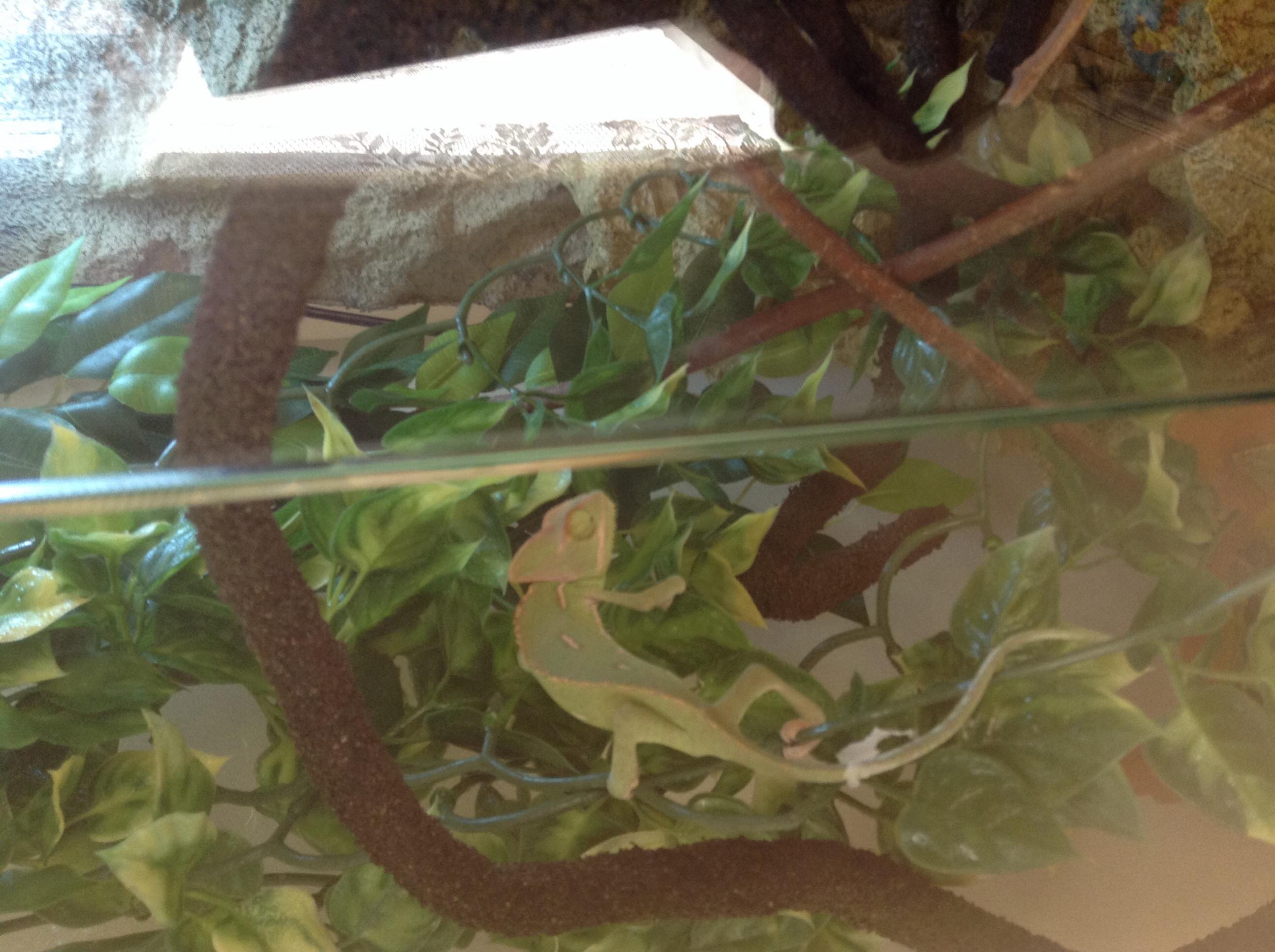 Sw England Veiled Chameleon 4 Months Old Glass Vivarium Full Setup Reptile Forums